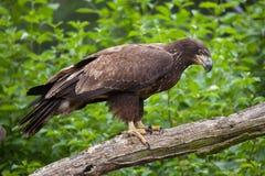 Female bald eagle Haliaeetus leucocephalus. Wildlife animal Stock Photos