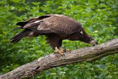 Female bald eagle Haliaeetus leucocephalus. Wildlife animal Royalty Free Stock Photo