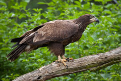 Female bald eagle Haliaeetus leucocephalus. Wildlife animal Royalty Free Stock Image
