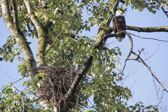 Female Bald Eagle Nesting Stock Images