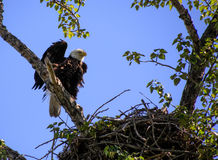 Female Bald Eagle watching over chicks Stock Photo