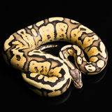 Female Ball Python. Firefly Morph or Mutation Royalty Free Stock Photos