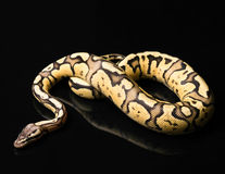 Female Ball Python. Firefly Morph or Mutation Stock Photo
