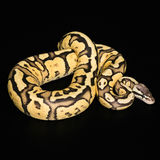 Female Ball Python. Firefly Morph or Mutation Royalty Free Stock Image
