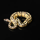 Female Ball Python. Firefly Morph or Mutation Royalty Free Stock Images