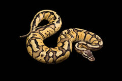 Female Ball Python. Firefly Morph or Mutation. Female Ball Python - Python regius, age 1 year, isolated on a black background. Firefly Morph or Mutation Stock Photography