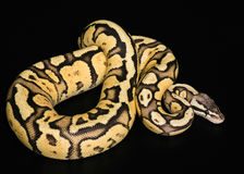 Female Ball Python. Firefly Morph or Mutation. Female Ball Python - Python regius, age 1 year, isolated on a black background. Firefly Morph or Mutation Royalty Free Stock Images