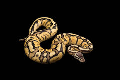 Female Ball Python. Firefly Morph or Mutation Stock Image
