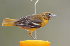 Female Baltimore Oriole feeding on an orange Stock Photo