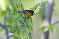 Female Baltimore Oriole Stock Images
