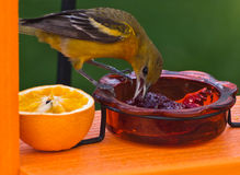 Female Baltimore Oriole (icterus galbula) Stock Images