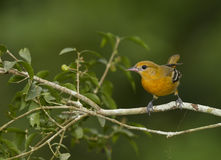 Female Baltimore Oriole. Icterus galbula perched on a branch in a Costa Rican rainforest. The Baltimore Oriole Icterus galbula is a small icterid blackbird stock image