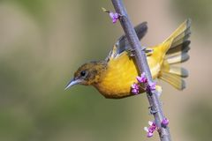 Female Baltimore Oriole perched in a flowering Eastern Redbud Royalty Free Stock Photos
