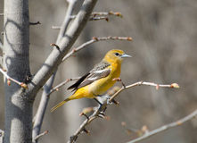 Female Baltimore Oriole. Female Baltimore Oriole sitting on tree branch Royalty Free Stock Photo