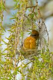 Baltimore Oriole - Icterus galbula. Female Baltimore Oriole weaving grass to build her new nest. Ashbridges Bay Park, Toronto, Ontario, Canada Royalty Free Stock Image