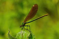 Female Banded Damselfly Royalty Free Stock Images