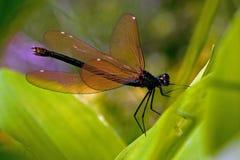 Female banded damselfly, calopteryx splendens Royalty Free Stock Photography
