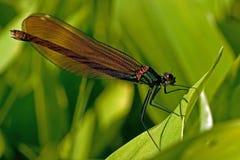 Female banded damselfly, calopteryx splendens Royalty Free Stock Photo