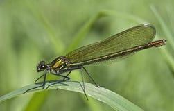 Female Banded Demoiselle