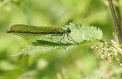 A female Banded Demoiselle Calopteryx splendens perched on a stinging nettle leaf. Royalty Free Stock Photo