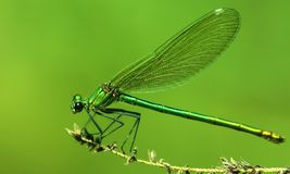 Female Banded demoiselle Royalty Free Stock Photo