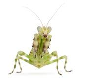 Female Banded Flower Mantis or Asian Boxer Stock Photos