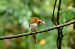 Female banded kingfisher Royalty Free Stock Image