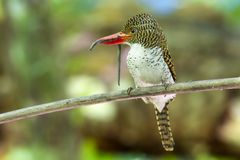 A female Banded Kingfisher bird catches earthworm for food in the forest. Shoot from kaengkrachan thailand royalty free stock photo