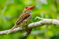 Female Banded Kingfisher Royalty Free Stock Image