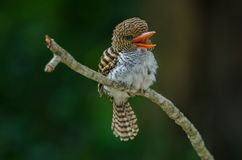 Free Female Banded Kingfisher Standing On The Branch Royalty Free Stock Photo - 129366485