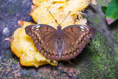 Female Banded Marquis butterfly Stock Photography