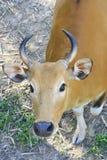 Female banteng head Stock Image