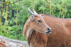 Female banteng Stock Photos