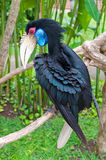 Female Bar-pouched Wreathed Hornbill. Bird Royalty Free Stock Photo