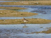 Female Bar-tailed Godwits or Limosa lapponica walks at seashore, portrait, selective focus, shallow DOF Royalty Free Stock Photos