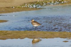 Female Bar-tailed Godwits or Limosa lapponica walks at seashore, portrait, selective focus, shallow DOF Royalty Free Stock Images