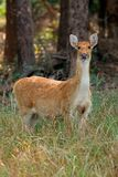Female Barasingha or swamp deer Stock Photo