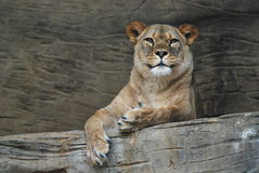 Female Barbary lion. Lies and rests in stone enclosure stock photo