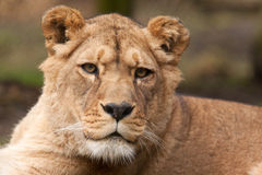 Female Barbary lioness Royalty Free Stock Image