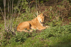 Female Barbary lioness Stock Photography