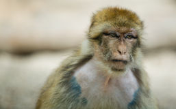 Female Barbary Macaque Royalty Free Stock Photography