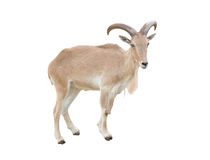 Female Barbary sheep (Ammotragus lervia) Royalty Free Stock Photo