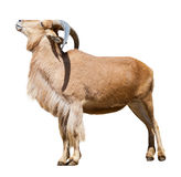 Female barbary sheep. Isolated over white Royalty Free Stock Image