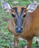 The female barking deer. This adult-female of barking deer Stock Photos