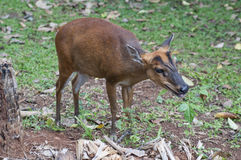 The female barking deer. This adult-female of barking deer Royalty Free Stock Images