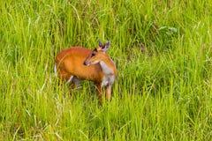 Female Barking Deer (Muntjacs or Mastreani deer) Royalty Free Stock Images