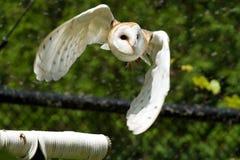 Female Barn Owl Stock Photography