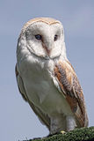 Female barn owl portrait Stock Photos