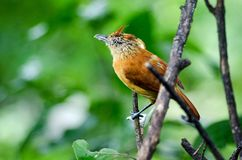 Female Barred Antshrike bird, Tobago Stock Photos