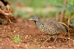 Female barred buttonquail Royalty Free Stock Photography